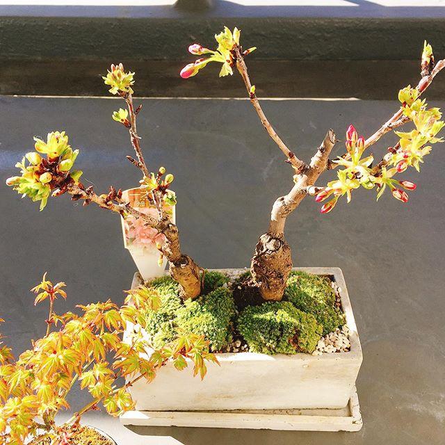ベランダ盆栽に新入りが。旭山一才桜、二株が一緒の鉢に入っているのがなんとも可愛らしく。念願の桜をお迎えしました(*'▽'*)❣️ もみシーに続き、名前をつけるのが我が家の慣習なんですが、まぁ、迷いました。桜っぽい名前。2株なので繋がりがある名前……できれば対になっているような…… で、散々迷って、桜ちゃんと、ともよちゃんになりました笑。わかる人は笑って!(表記は敢えて本家と逆にしている…本家はさくらちゃんと知世ちゃんよね)向かって右、枝を伸ばしている方が桜ちゃん、左の嬉しそうにしてる方がともよちゃんです。よろしくお願いします('-'*) #桜 #盆栽